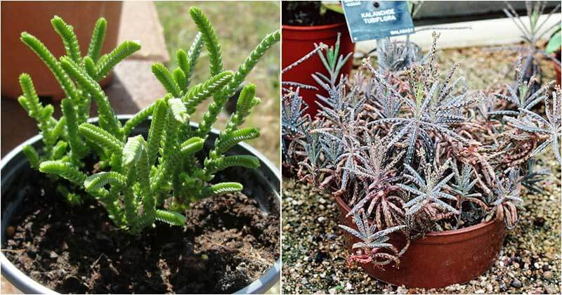 15-Grow-Like-Weed-Succulents-You-Will-Love-To-Know-ft