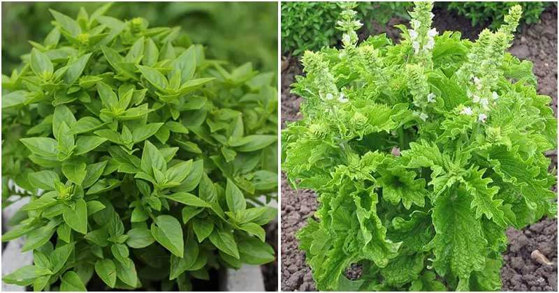 18 Different Types Of Basil For Cooking And Medicinal