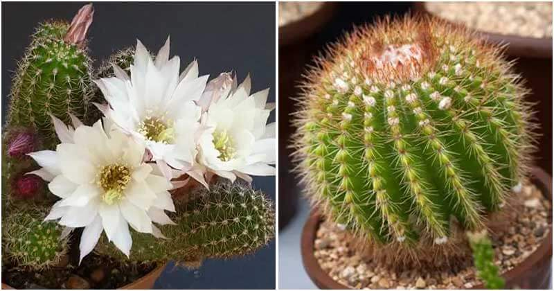18 Indoor Cactus Plants That You Can Grow In Home