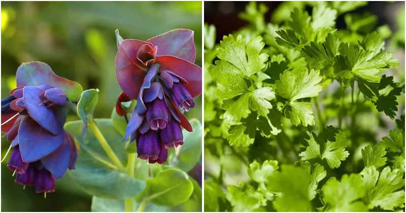 18 Self-Seeding Flowers, Herbs and Veggies That You Just Need To Grow Once