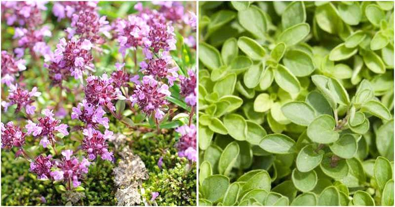 20-Beautiful-Ground-Cover-Plants-For-Any-Garden-ft