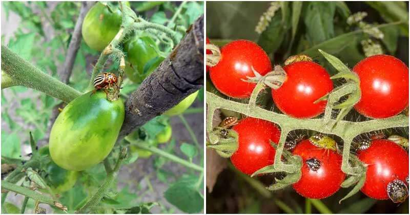 20 Best Common Tomato Pests And Ways To Repel Them From Your Garden
