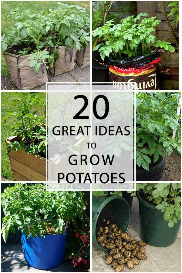 20 Great Ideas To Grow Potatoes In Tiny Spaces
