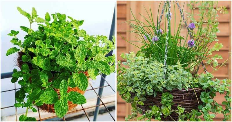 20-Herbs-That-Look-Pretty-On-Hanging-Baskets-ft