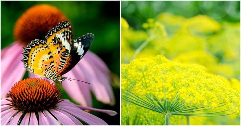 25-Flowers-That-Attracts-Butterflies-To-Your-Garden-ft1