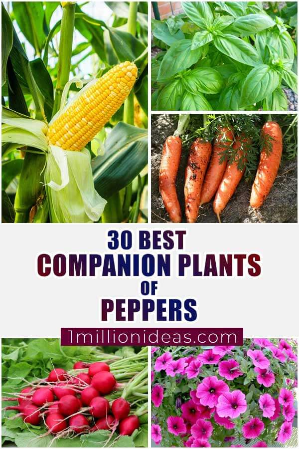 30 Best Companion Plants Of Peppers