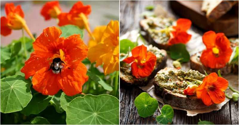 5-Reasons-Why-You-Should-Grow-Nasturtiums-In-The-Garden-ft