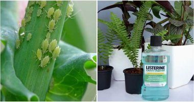 7 Amazing Uses Of Listerine In Garden That You Should Know