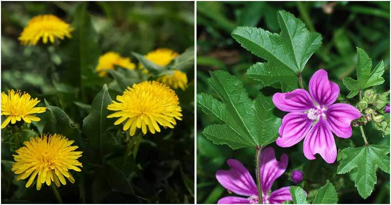 9 Edible Weeds In The Garden That You Should Know