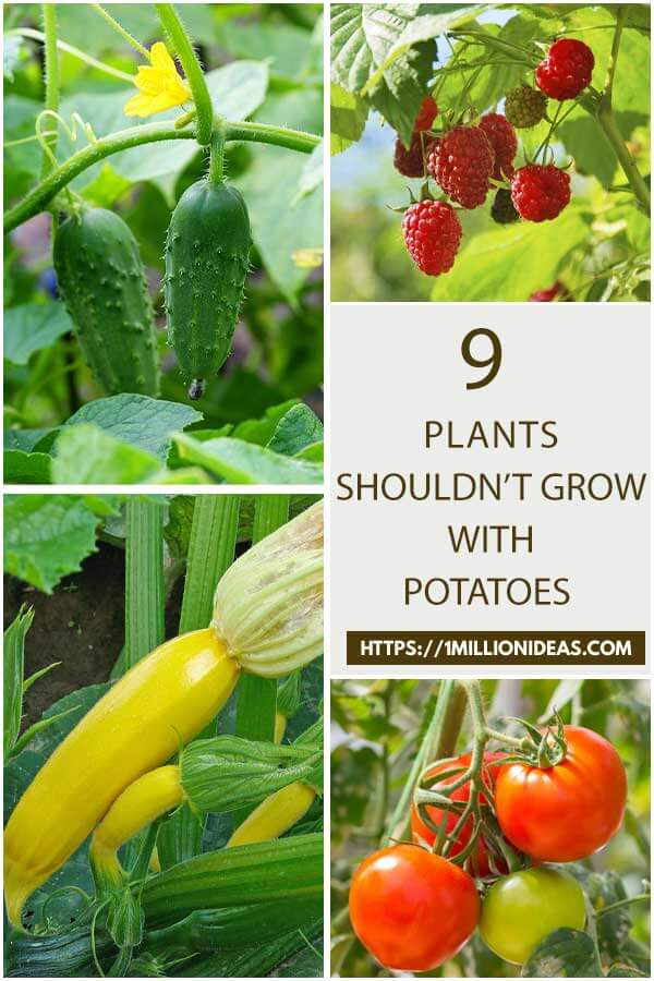 9 Plants Should Not Grow With Potatoes