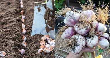 How-To-Grow-Garlic-In-Your-Garden-In-Fall-ft
