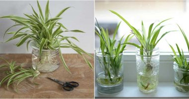 How-To-Grow-Spider-Plants-In-Water-ft