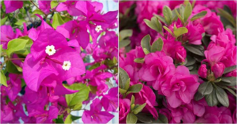 10-Beautiful-Pink-Flowering-Shrubs-To-Spruce-Up-Your-Garden-ft