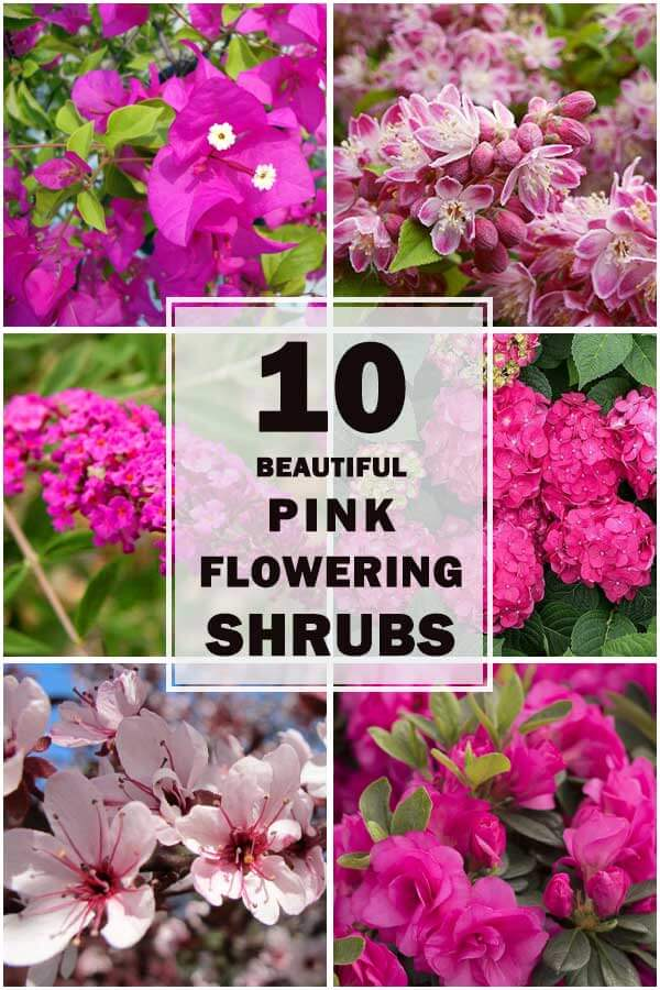 10-Beautiful-Pink-Flowering-Shrubs-To-Spruce-Up-Your-Garden-ft1