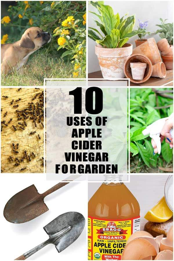 10 Uses Of Apple Cider Vinegar In Your Garden