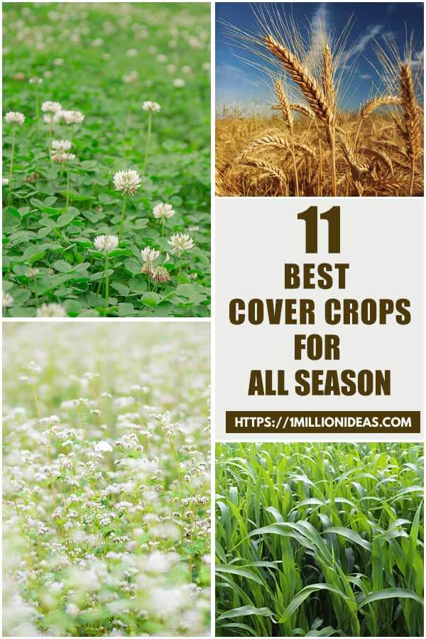 11 Best Cover Crops For All Season That You Will Love