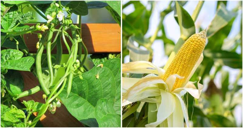 11 Good Companion Plants That Help Your Cucumber Grow Well