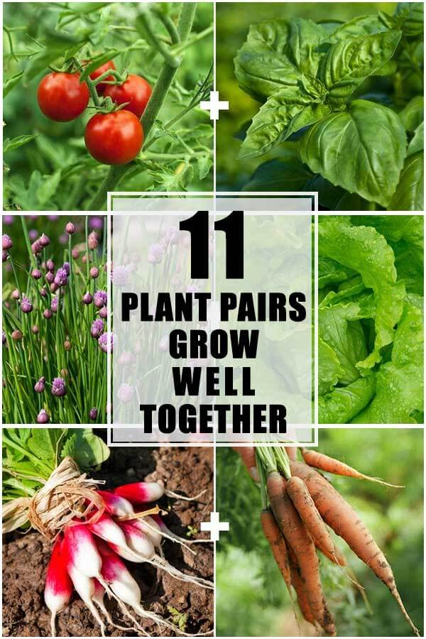 11 Plant Pairs Grow Well Together