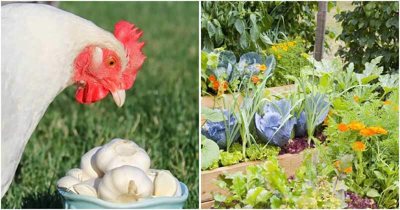 11 Stunning Uses of Garlic in the Garden