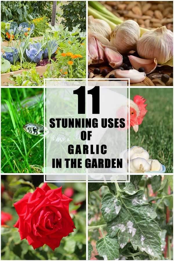 11 Stunning Uses of Garlic in the Garden