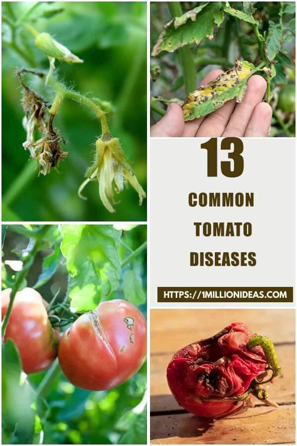 13 Common Tomato Diseases