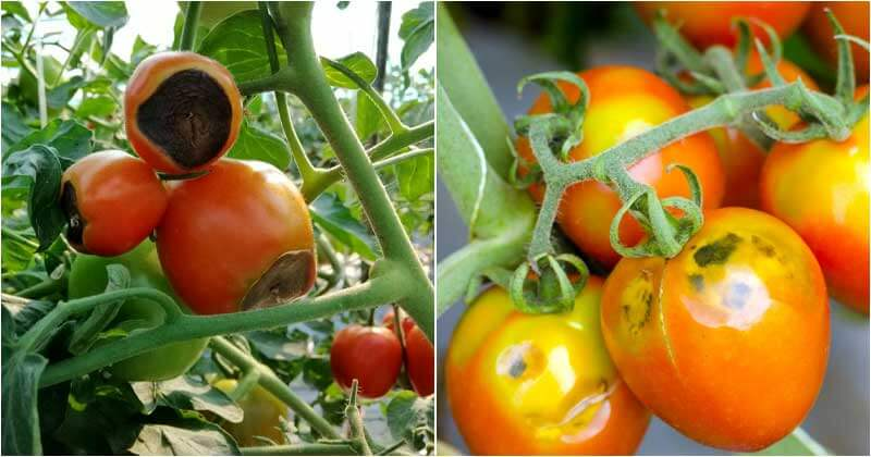 13-Common-Tomato-Problems-&-How-To-Deal-With-Them-ft