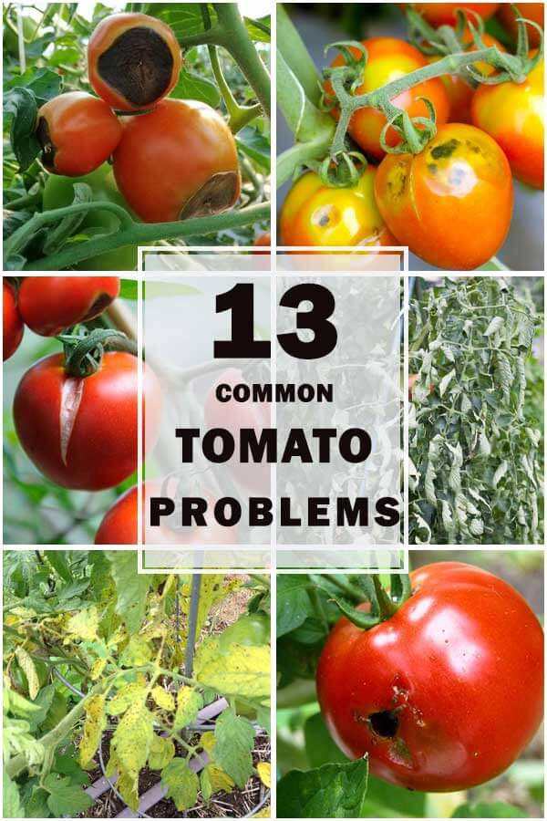 13-Common-Tomato-Problems-&-How-To-Deal-With-Them-ft1