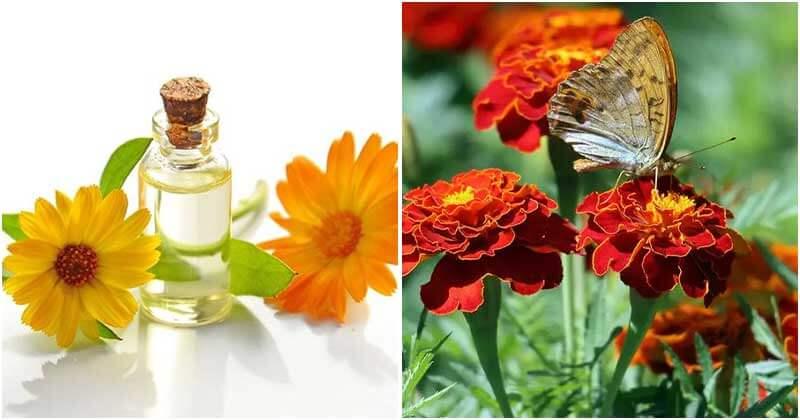 15 Good Reasons To Grow Marigolds In Your Garden