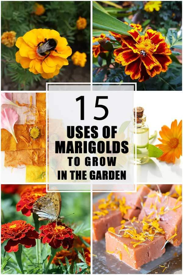 15 Good Reasons To Grow Marigolds In Your Garden