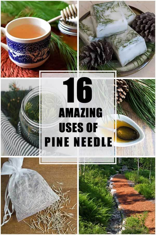 16 Amazing Uses of Pine Needle That You Will Love