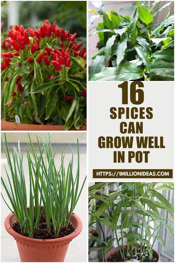16 Spices Can Grow Well in Pots