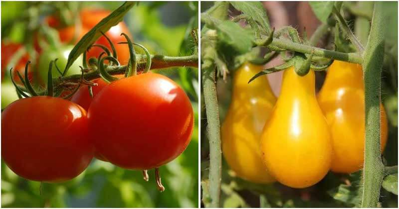 19 Tomato Varieties To Grow In The Garden