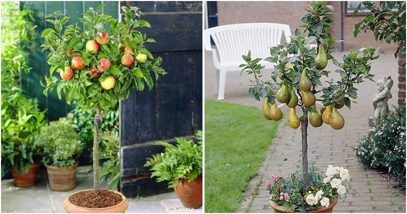20 Dwarf Fruit Trees For Limited Space