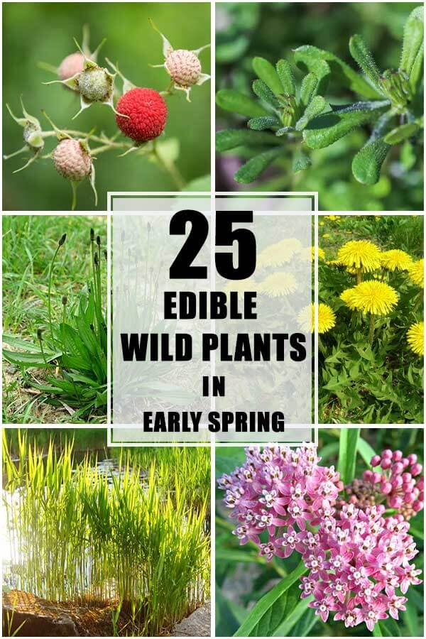 25 Edible Wild Plants In Early Spring