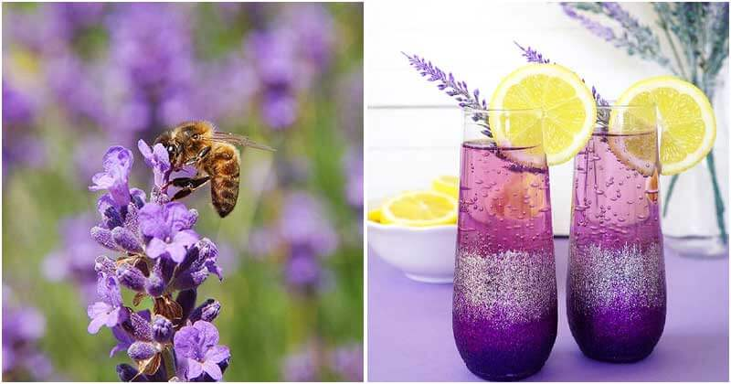 26 Good Reasons Of Lavender To Grow In The Garden