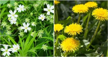 8 Common Weeds That Are Loved By Chickens