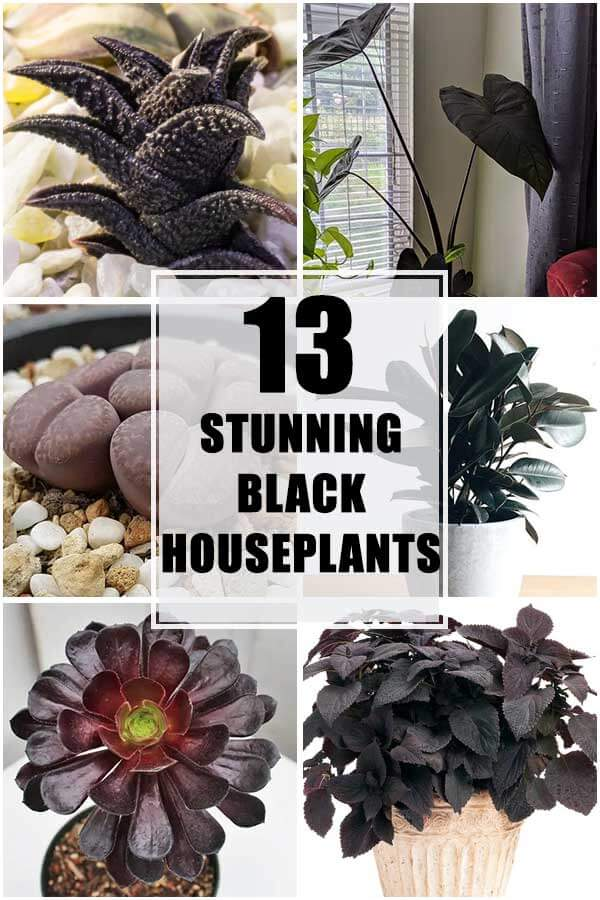 Collection of 13 Stunning Black Houseplants