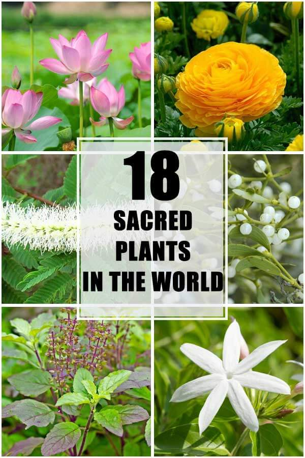 Sacred Plants In The World