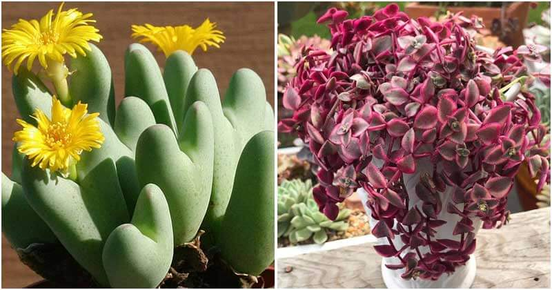 10 Best Heart-Shape Succulents To Decorate Your Home