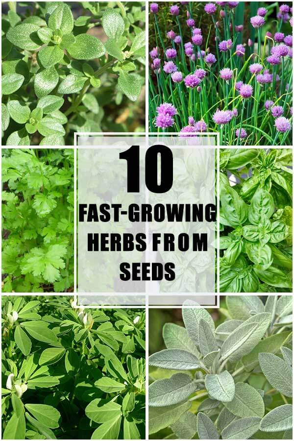 10 Fast-Growing Herbs From Seeds