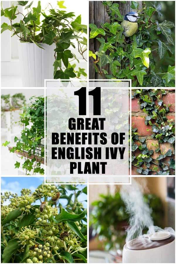 11 Great Benefits Of English Ivy Plant
