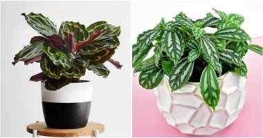 13 Best Beautiful Metallic Sheen Indoor Plants