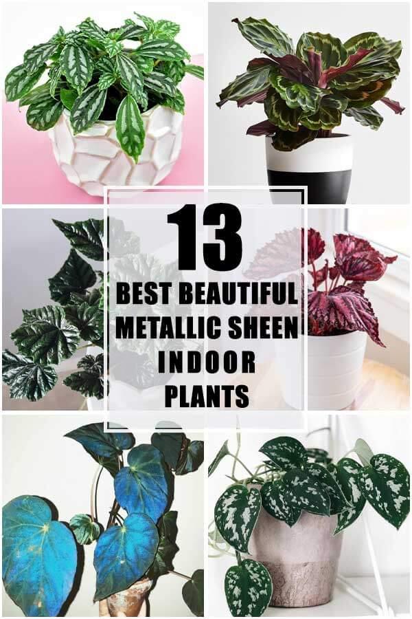 13 Best Beautiful Metallic Sheen Indoor Plants
