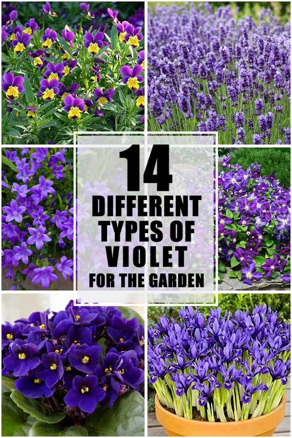 14 Different Types of Violets For The Garden