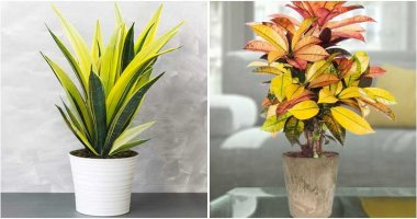 16 Best Beautiful Golden Houseplants