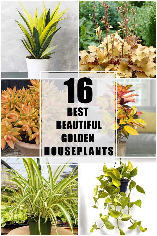 16 Best Beautiful Golden Houseplants