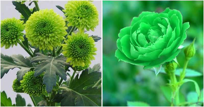 20 Best Beautiful Green Flowers Around The World