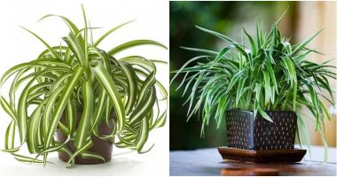 7 Benefits Of Spider Plant When You Grow Indoor