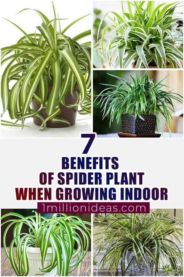 7 Benefits Of Spider Plant When You Grow Indoor