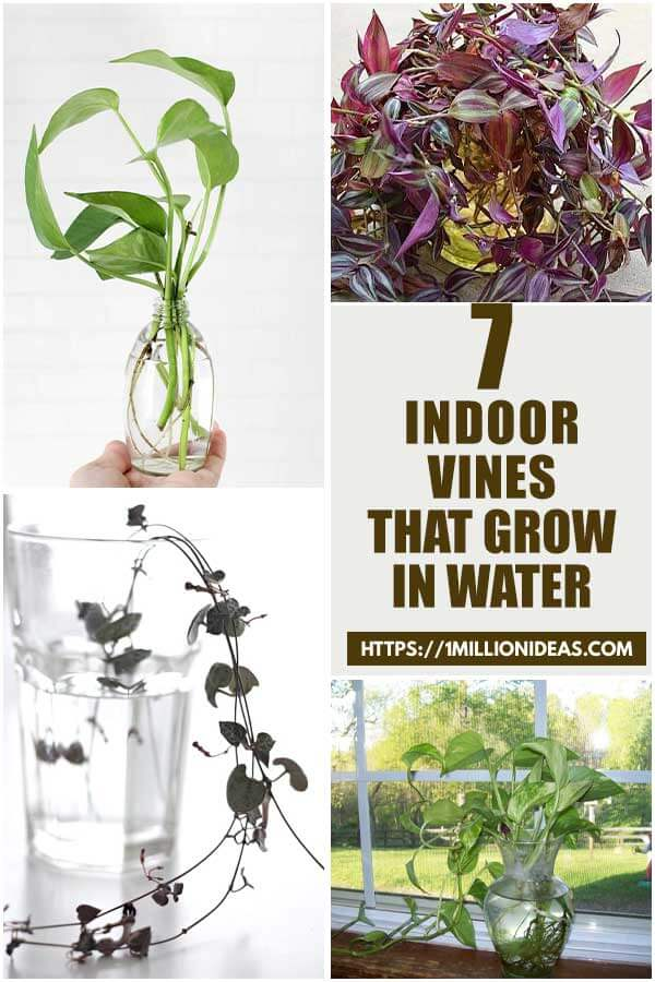 7 Indoor Vines That You Can Grow In Water